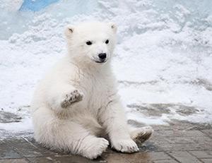 Poezii pentru copii - Fram, ursul polar
