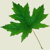 Poezii pentru copii - Ghicitoare despre frunză
